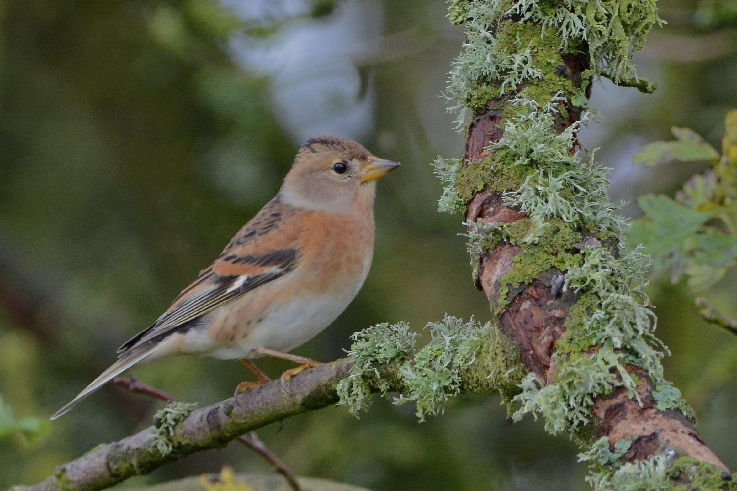 bird watching a Brambling